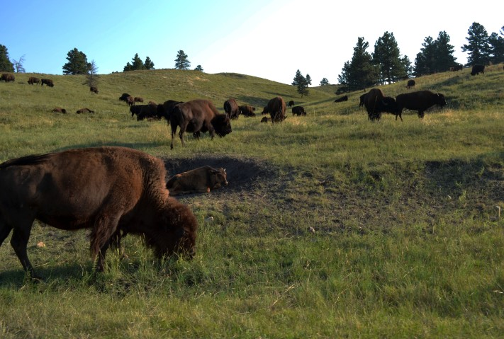 edited 2 south-dakota-custer-custer-state-park-bufallo-wildlife-loop-road