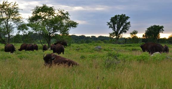 Minnesota Buffalo