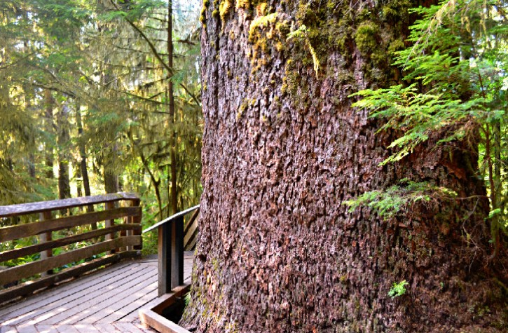 best-hiking-trails-olympic-national-park-washington-quinault-rain-forest-nature-trail